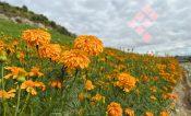 Da esperanza semáforo verde a productores de flor; sólo sembraron al 50%